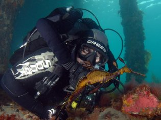 Diving on the Sentinel watching a Weedy Sea Dragon